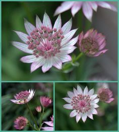Astrantia taken in my garden on manual with skills I learned on Janes course. Sign up, you will not regret it. Astrantia, Flower Photography, Photography For Beginners, Manual, Cottage, Sign, Learning, Garden, Flowers