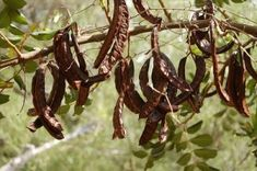 Carob: the Migraine-Friendly Chocolate - Migravent - Nutritional Support for Neurological Comfort Carob Chocolate, Chocolate Tree, Unusual Flowers, Rare Flowers, Rare Plants, Exotic Plants, Spices And Herbs, Holiday Break, Landscaping Plants
