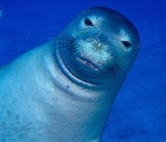 monk seal hawaii waters