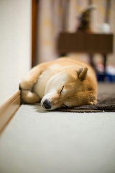 """柴犬, Shiba Inu <3 ~lisa. """"Good night. 電気消してネ。オレンジ残しで。""""(c) ...Good night from Tokyo"""