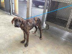 PUPPY at Miami Kill Shelter SCOOBY  (A1584399) I am a male brown brindle Great Dane.   The shelter staff think I am about 4 months old.   I was found as a stray and I may be available for adoption on 01/08/2014. — https://www.facebook.com/photo.php?fbid=695236447177428&set=a.470960256271716.114441.191859757515102&type=3&theater
