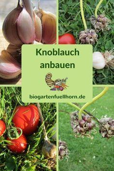 Der Anbau von Knoblauch leicht gemacht #garten #knoblauch anbauen #selbstversorger