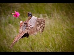Pheasant Trapping - Big Catch - Multiple Birds - YouTube