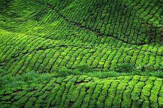 Malaysia green hills of tea plantation