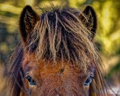 Inquisitive yearling - A very inquisitive yearling at Fitjamyri Icelandic Horses, Vernon, B.C. Canada