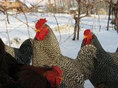 Temperate Climate Permaculture: Heritage Breeds: Dominique Chickens