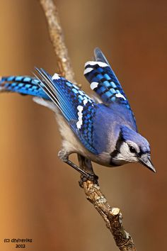 I love this blue jay photo. Gorgeous