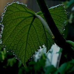 Wet grape leaf.