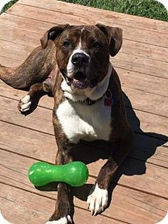 Troy, MI - Boxer/American Staffordshire Terrier Mix. Meet Bruno, a dog for adoption. http://www.adoptapet.com/pet/15617046-troy-michigan-boxer-mix