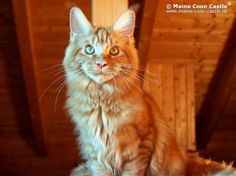 Campino of Maine Coon Castle 6,5 Monate alt, 4980g