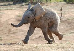 Baby Elephants Actually Suckle Their Itty Bitty Trunks