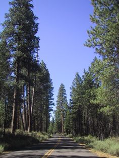Nice stand of pines near Camp Sherman on the Metolius River in Central Oregon.  No more beautiful place on earth!