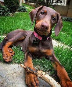 Brown Doberman, Doberman Love, Pitbull, I Love Dogs, Cute Dogs, Big Dogs, Black And Tan Terrier, Doberman Pinscher Puppy, Doberman Puppies