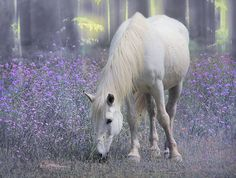 White horse in a field of purple. Most Beautiful Horses, All The Pretty Horses, Beautiful Scenery, Beautiful Things, Beautiful Creatures, Animals Beautiful, Barrel Racing Horses, Horses And Dogs, Horse World