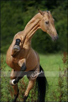 Akhal-Teke stallion                                                                                                                                                                                 Mais