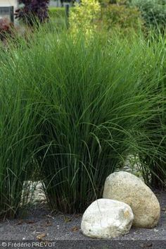 Miscanthus sinensis  'Gracillimus' for sculptural sweeps? in the NE corner of the garden.