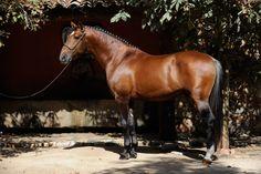 RIETO - Massa Horses