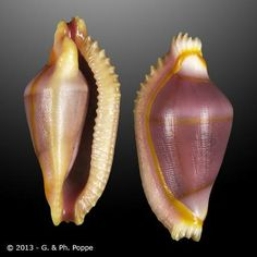 Dentiovula dorsuosa  -  Poppe