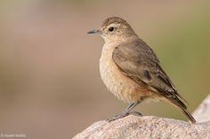 Minero Cordillerano. Geositta rufipennis. Rufous-banded Miner   by Daniel Sziklai G.