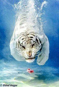 Increíble fotografía de Eldad Agar, de un tigre blanco que va tras un pedazo de carne, bajo el agua, vía art-profiles.com.