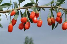 How to Grow Goji Berry Fruit Tree. I will show you with photos how to grow the Goji Berry plant in your garden. I will also explain the many health benefits and how to use these fruit berries in your daily recipes. Growing Goji Berries, Berry Plants, Fruit Plants, Edible Plants, Chinese Herbs, Chinese Medicine, Herbal Medicine, Superfood Recipes, Orange Fruit