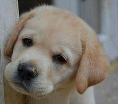 Risultati immagini per cani labrador cuccioli