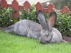 Big is beautiful Giant Rabbit, Giant Bunny, Big Bunny, Cute Bunny, Rabbit Pictures, Pet Birds, Cute Animals, Bunny Rabbits, Google Search