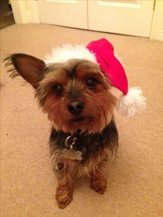 Christmas is coming #christmas #pup #yorkie #cute #xmas #santa #max #puppy #yorkshireterrier