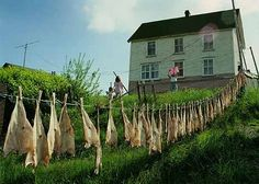 Fish drying on clothes line. Placentia Bay, Newfoundland