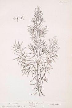 Elizabeth Blackwell, Rosemary (Rosmarinus), 1739
