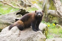 Climate change and warming temperatures have decimated the wolverine population in the continental United States, but it can still be saved from extinction. Urge authorities to reintroduce the species and save it from extinction.-PLEASE HELP SAVE WILDLIFE Wolverine Tattoo, Wolverine Claws, Wild Animals Pictures, Animal Pictures, Wolverine Pictures, Wolverine Animal, Animals Beautiful, Cute Animals, Pokemon In Real Life