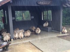 http://www.lostateminor.com/2016/04/11/capybaras-taking-shelter-in-the-rain-will-make-your-day/
