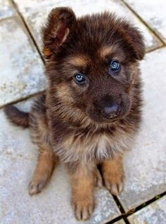 Siberian husky/German Shepherd mix. Cutee
