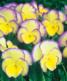 Live Picotee Violet Pansy - Set of Two