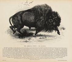 1840s Antique Animal Print, Large Black & White Wood Engraving, American…