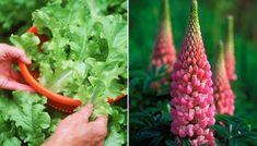 24 växter som trivs ihop – Lyckas med samplantering | Allas.se Harvest, Herbs, Vegetables, Flowers, Plants, Garden Cottage, Garden Ideas, Inspiration, Handmade