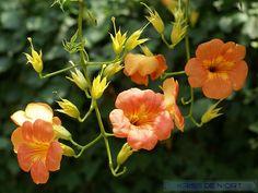 http://faaxaal.forumgratuit.ca/t2095-photos-d-arbustes-bignone-trompette-de-virginie-jasmin-de-virginie-campsis-radicans-trumpet-vine
