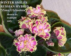 """Winter Smiles"" Russian hybrid"