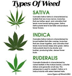 Different types of weed. Indica, sativa and rudirales. Cannabis effects for medical use and recreational pot smokers. Medical Marijuana, Marijuana Facts, Weed Facts, Marijuana Recipes, Ganja, Weed Types, Cannabis Oil, Weed, Aquaponics