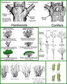 We get a lot of pruning questions at Fairview. Pruning is both an art and a science. Hopefully this guide will help answer some questions regarding the Pruning Plants, Pruning Fruit Trees, Pruning Plum Trees, Trees To Plant, Garden Trees, Lawn And Garden, Outdoor Landscaping, Outdoor Gardens, Apple Tree Care