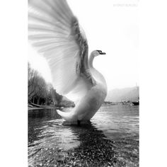 Swan's grace ❤ liked on Polyvore featuring backgrounds, animals and pictures