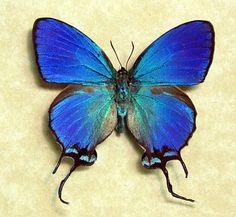 Thecla coronata butterfly, blue male, Ecuador