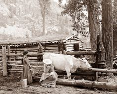 1900 girls milking a cow. Two kids on the fence, mountain in background.