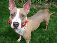 SAFE 6-2-2015 by  Heaven Can Wait Rescue --- Manhattan Center BELLA – A1036590 SPAYED FEMALE, TAN / WHITE, AM PIT BULL TER / BULL TERRIER, 2 yrs OWNER SUR – ONHOLDHERE, HOLD FOR ID Reason TOO MANY P Intake condition EXAM REQ Intake Date 05/16/2015