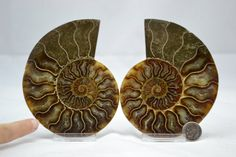 Cut Split Pair Ammonite Deep Crystal Cavity by Paulstaberminerals