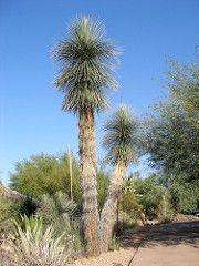 Yucca elata (DarinAZ) Tags: agavaceae dbg