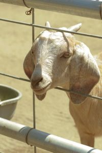 Learn how one farm family earns a comfortable living from its small-scale goat cheese business.