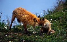 Обои пара, лиса, трава, забота, Рыжая, зелёная, потомство