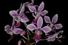 Orchid: Phalaenopsis equestris - From Southern Taiwan and the Philippines
