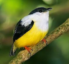 White-collared manakinWhite-collared manakin (Manacus candei) Is a passerine bird in the manakin family. It is a resident breeder in the tropical New World from southeastern Mexico to Costa Rica and the extreme west of Panama.!